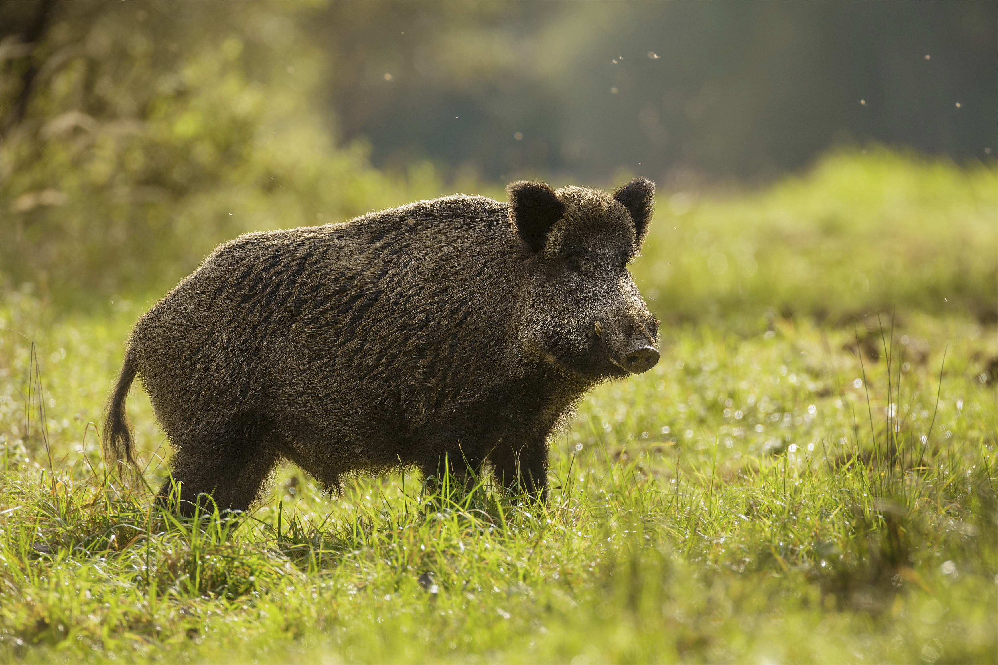 Wild Boar Images