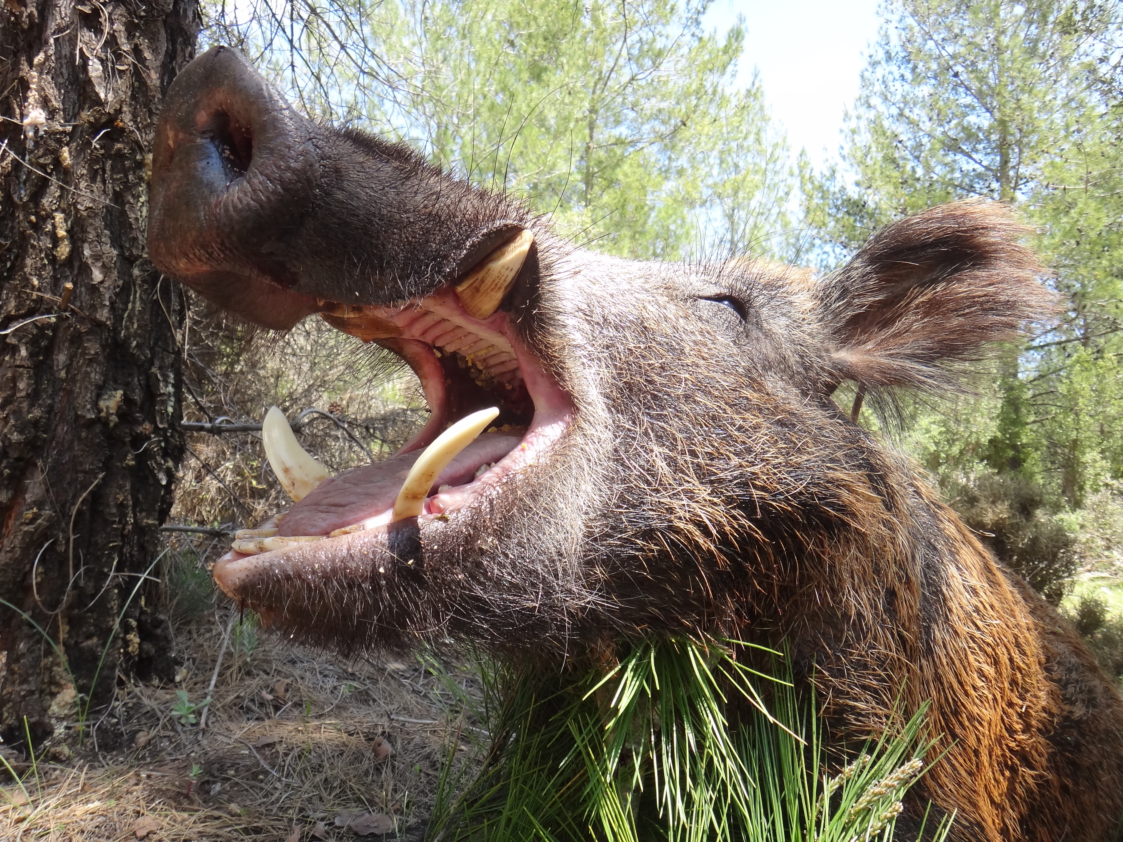 Wild Boar Photos