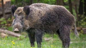 Wild Boar Wallpapers Hd