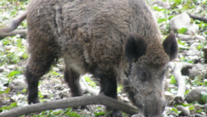 Wild Boar Full Hd
