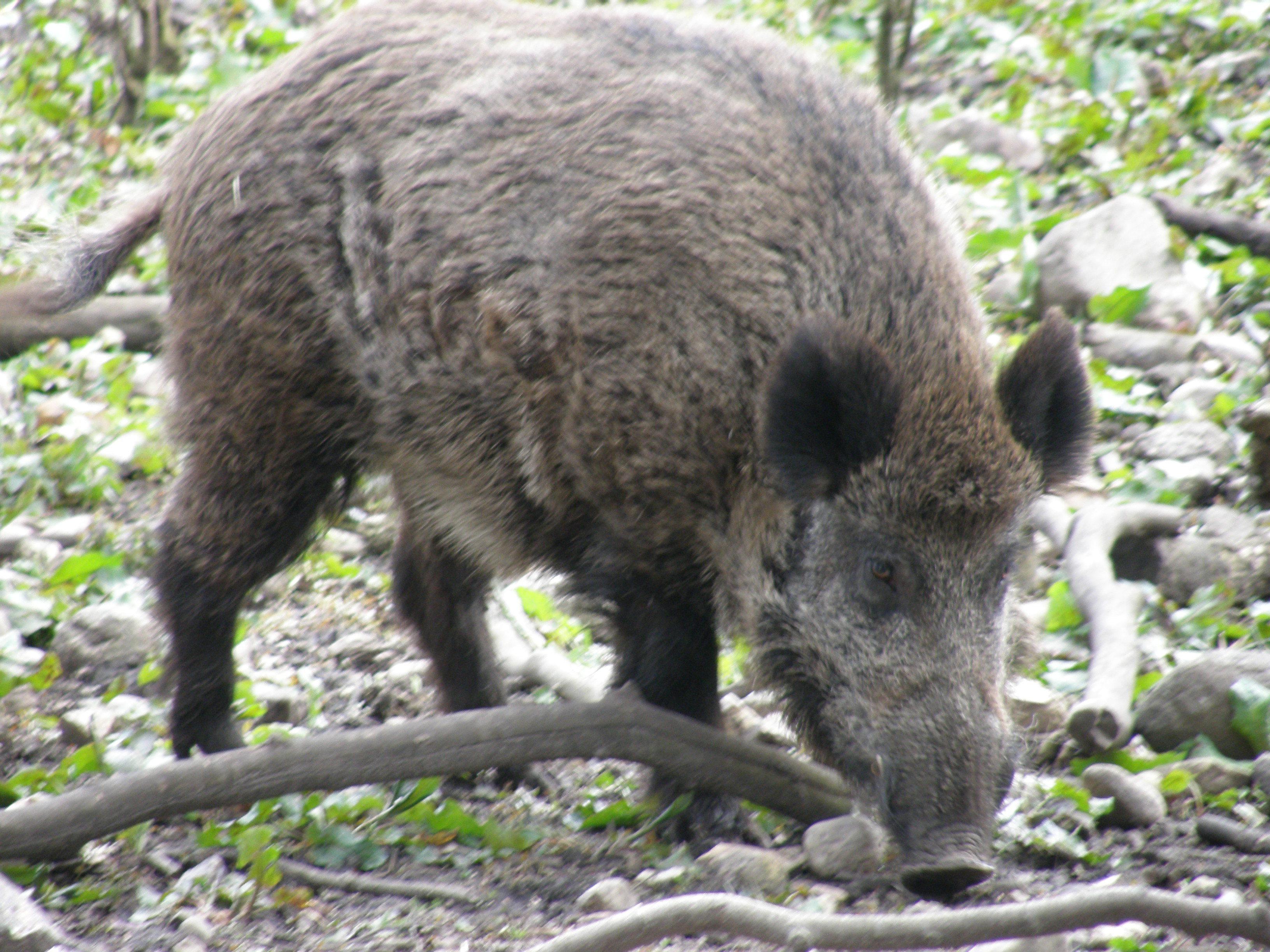 Wild Boar Full Hd