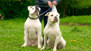 American Bulldog High Quality Wallpapers