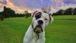 American Bulldog Pictures
