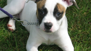 American Bulldog Wallpapers Hq