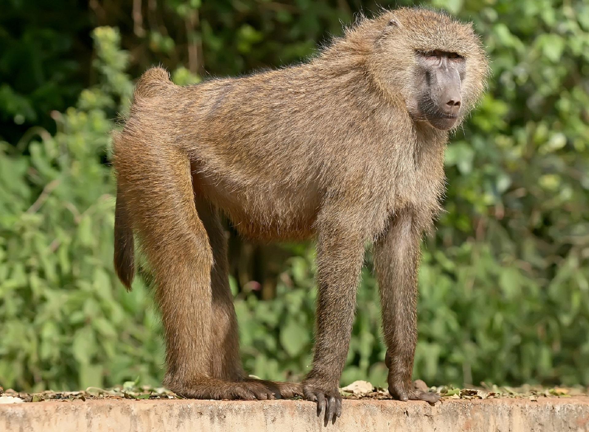 Baboon 4k