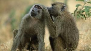 Baboon Hd