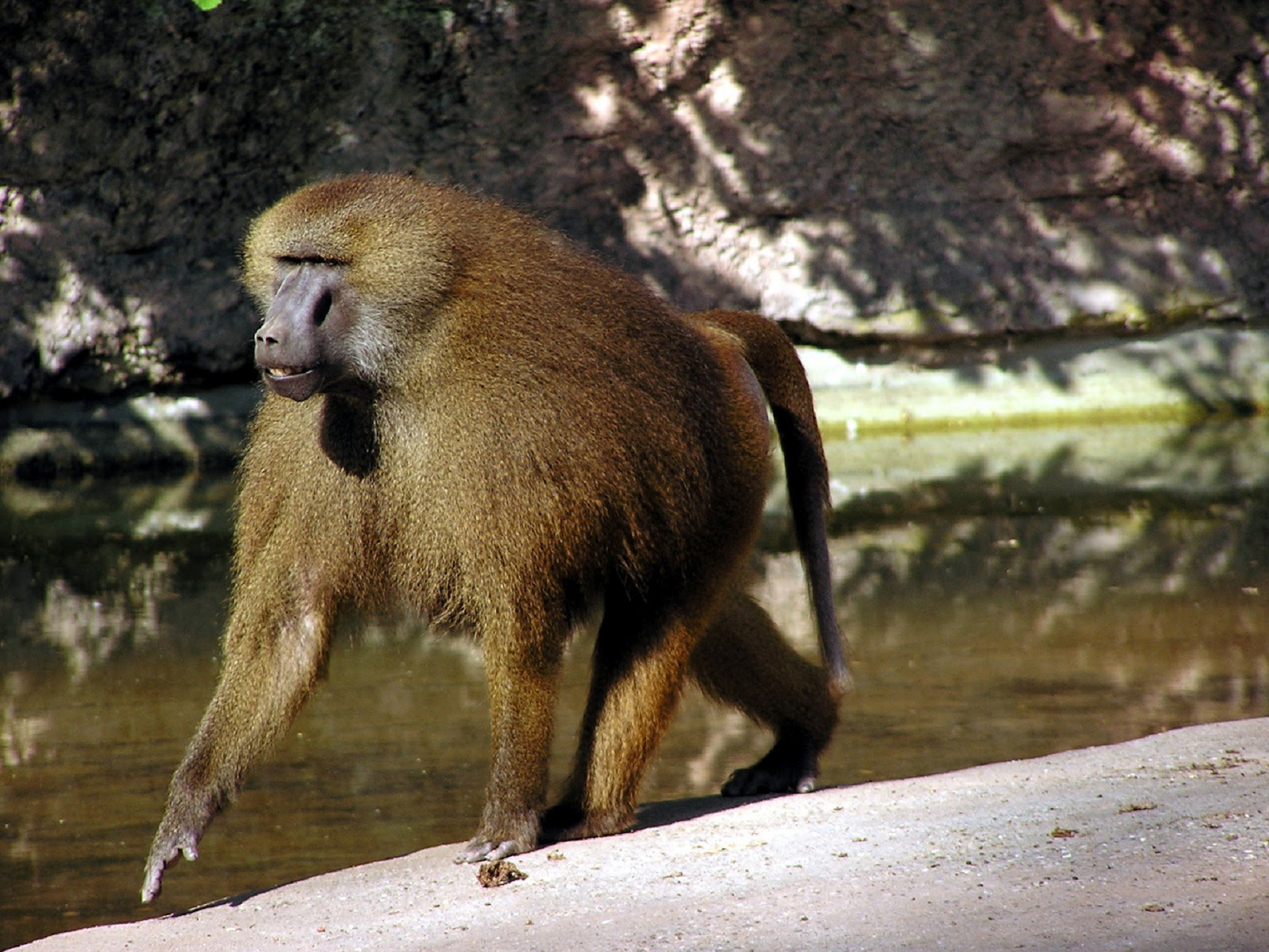 Baboon High Definition Wallpapers