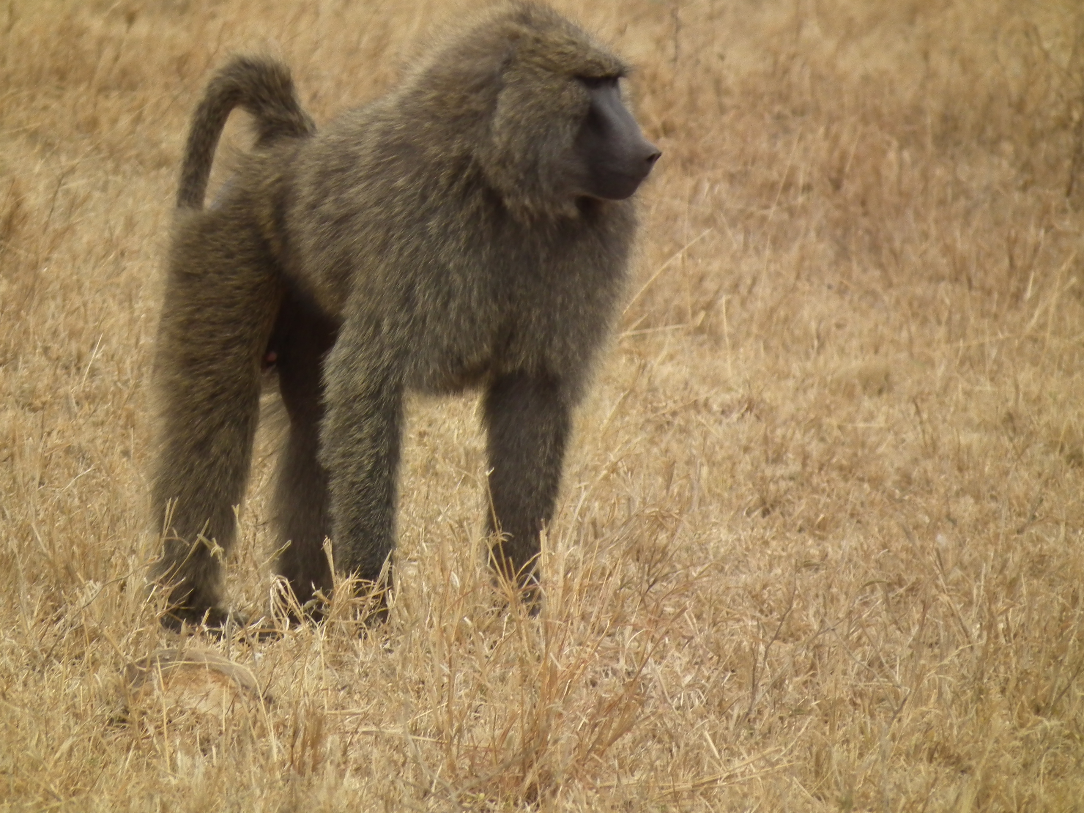 Baboon High Definition