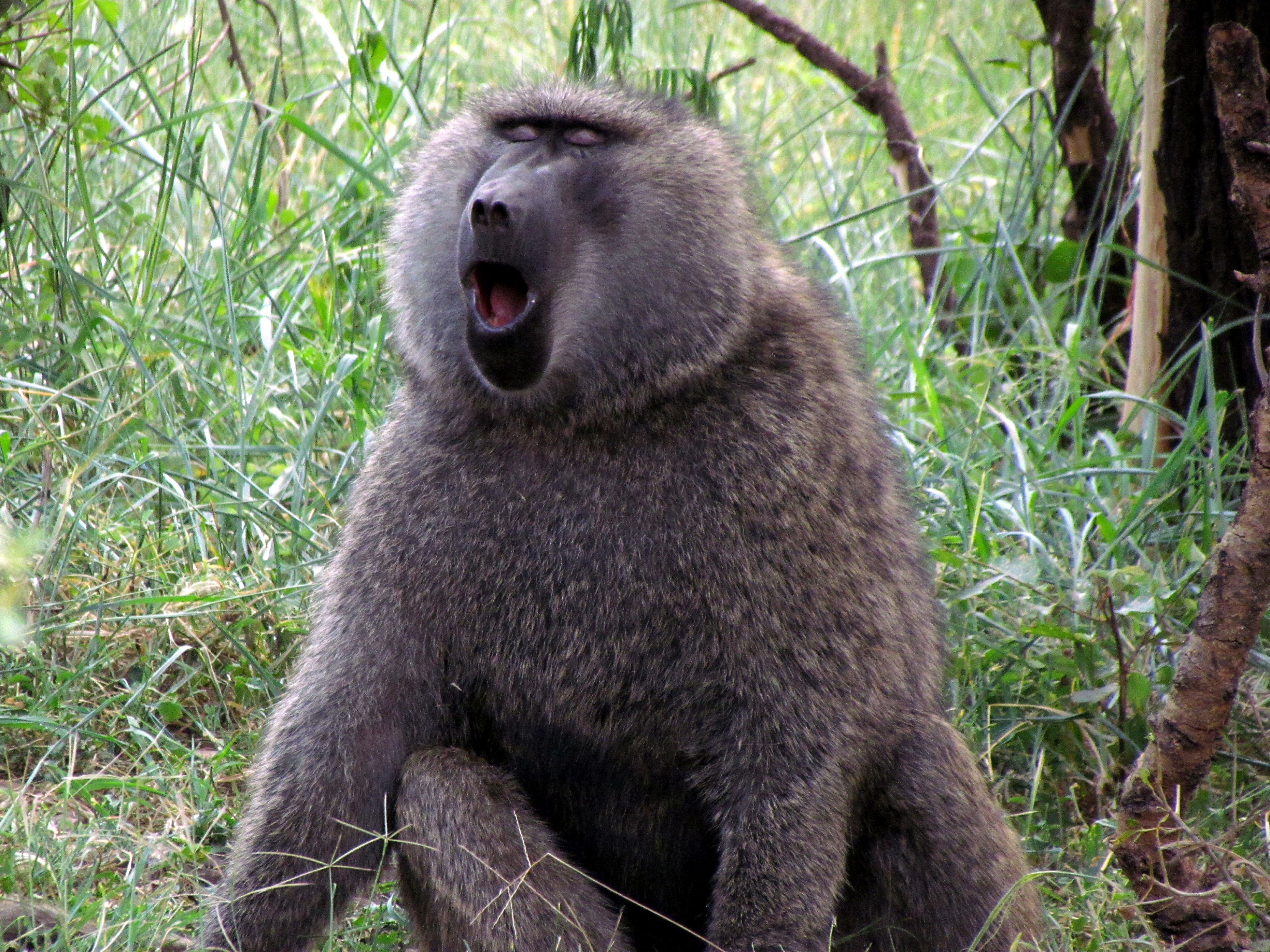 Baboon Photos