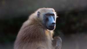 Baboon Wallpapers Hd