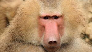 Baboon Wallpapers Hq
