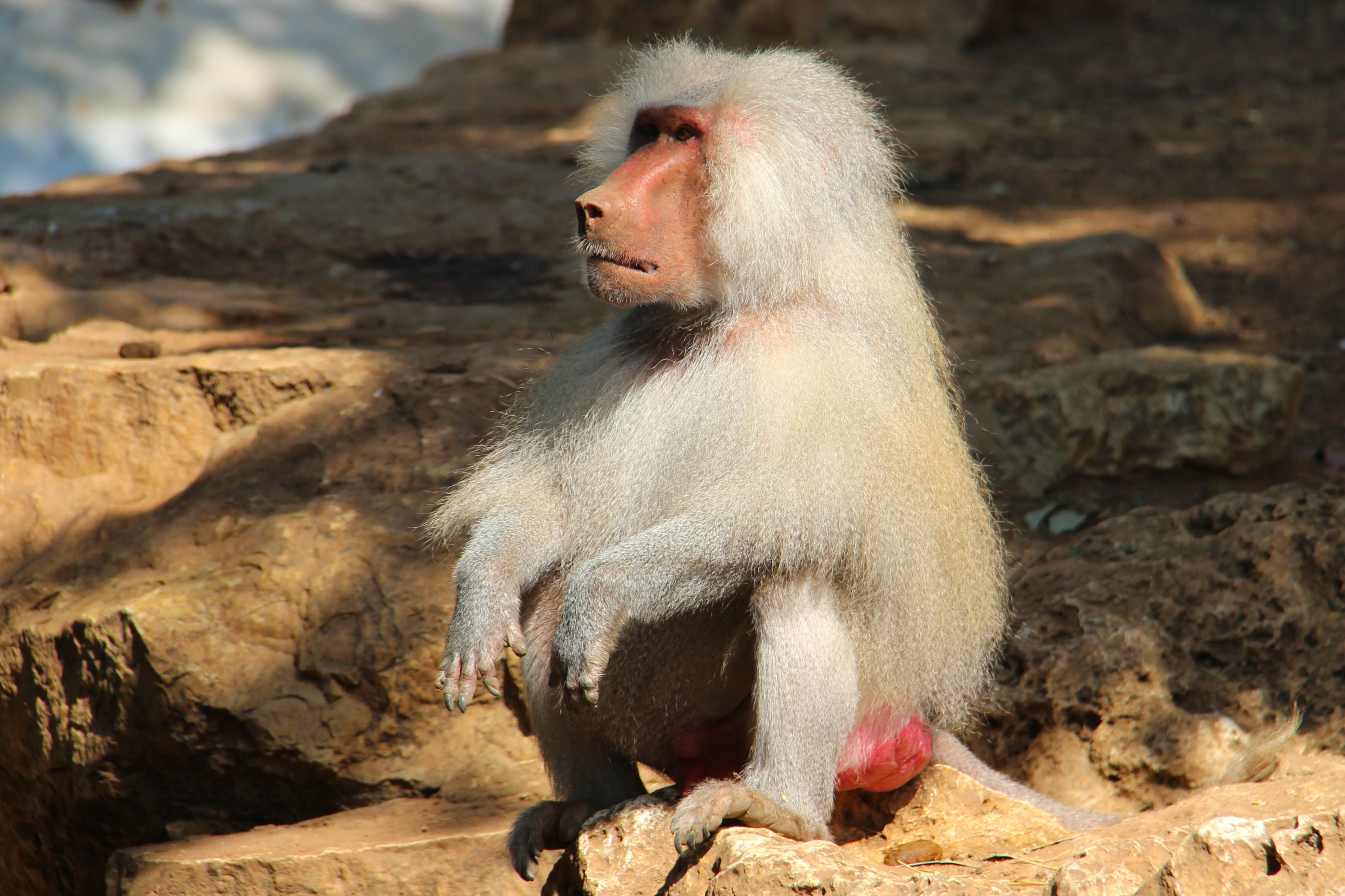 Baboon For Desktop