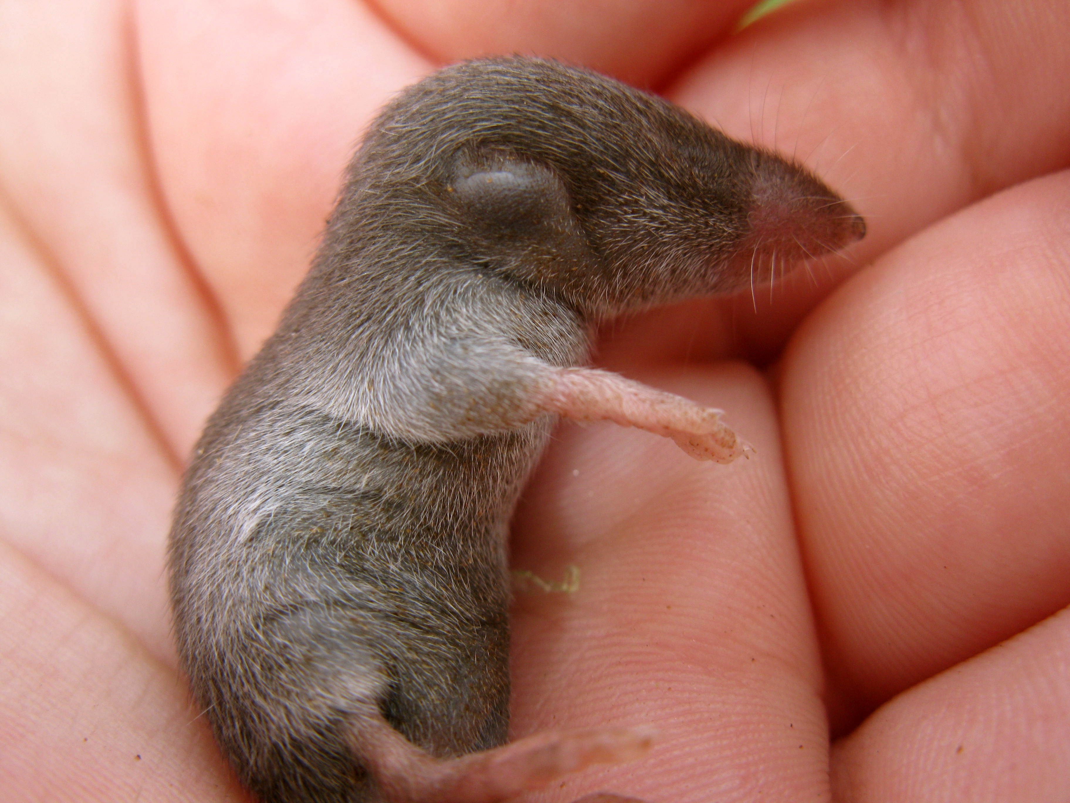 Baby Mole Images
