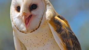 Barn Owl Desktop