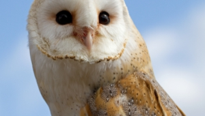 Barn Owl Hd Background