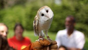 Barn Owl High Quality Wallpapers