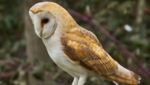 Barn Owl Photos