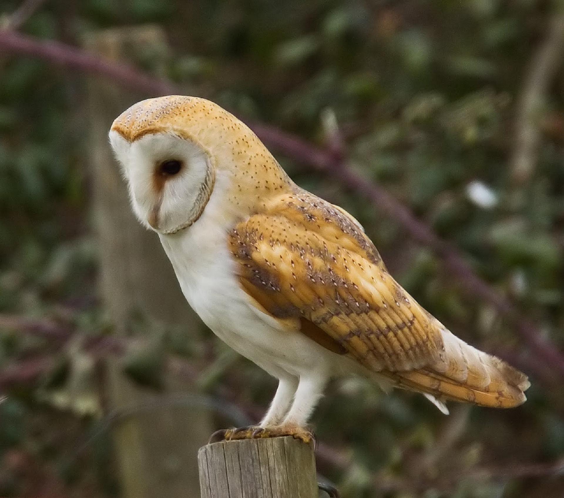 Barn Owl Photos