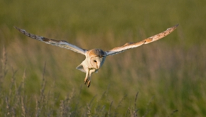 Barn Owl Pictures