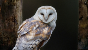 Barn Owl Wallpaper