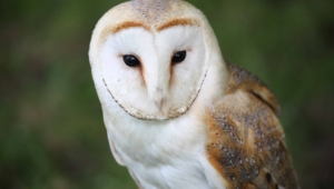 Barn Owl Widescreen