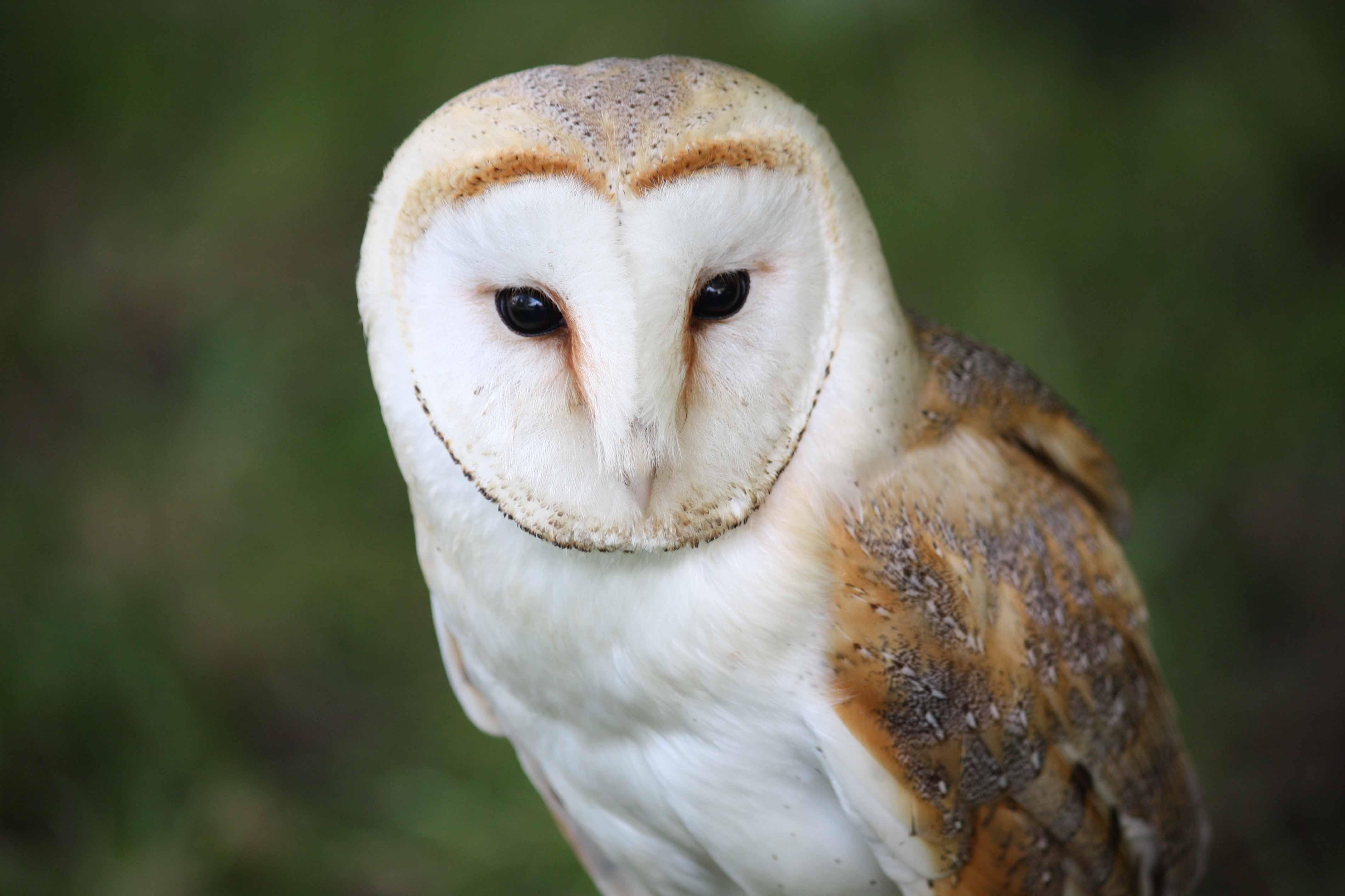 Barn Owl Widescreen