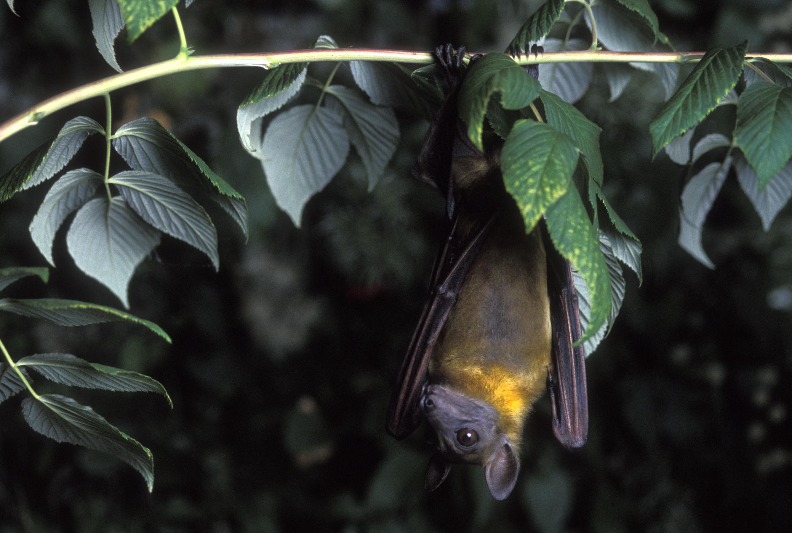 Bat Hd Background