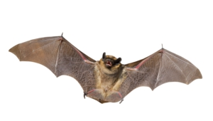 Bat Photos