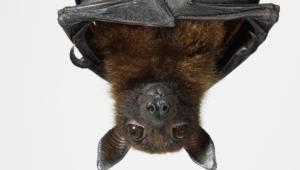 Bat Widescreen