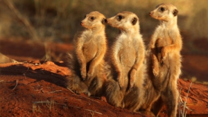 Best Images Of Meerkat