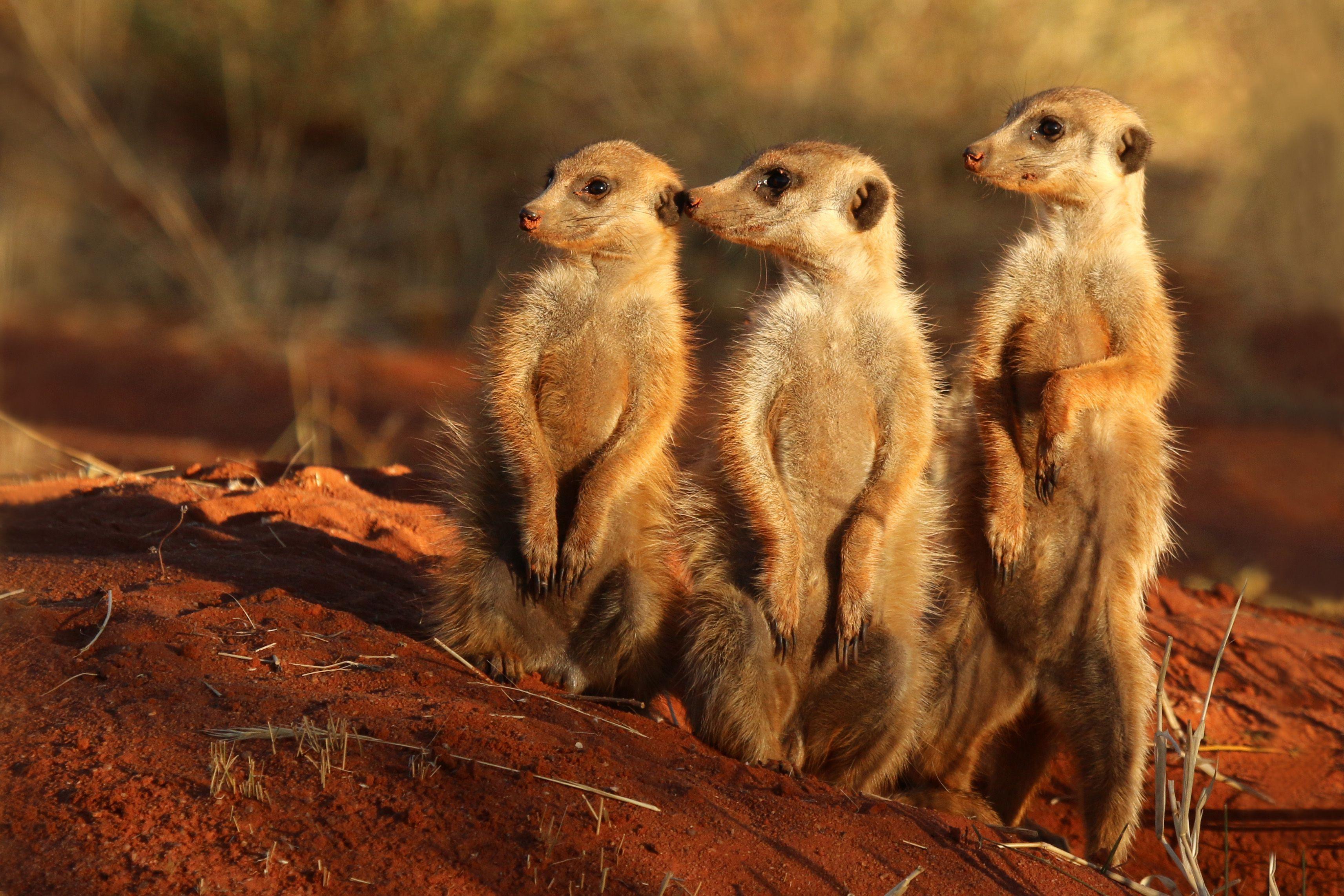 Best Images Of Meerkat