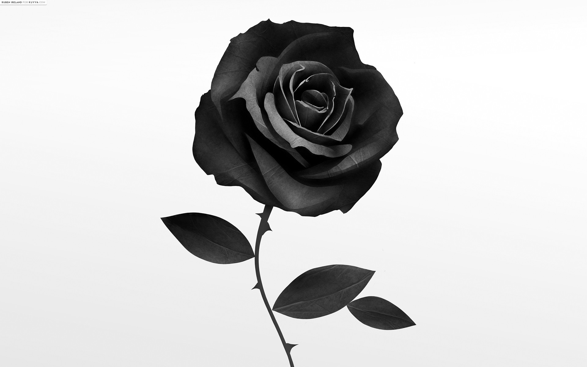 Black Rose Wallpapers Images Photos Pictures Backgrounds