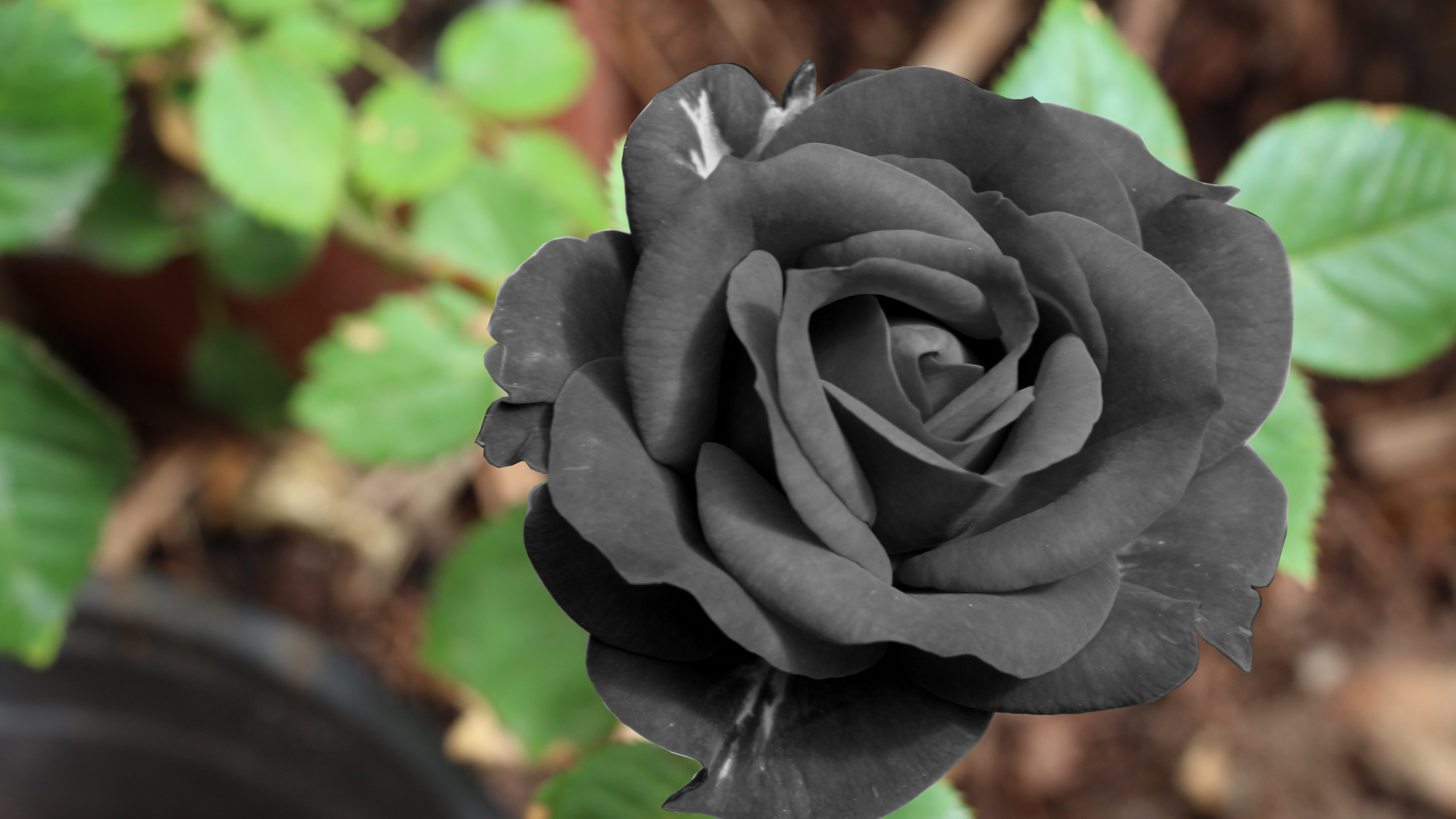 Black Rose Widescreen