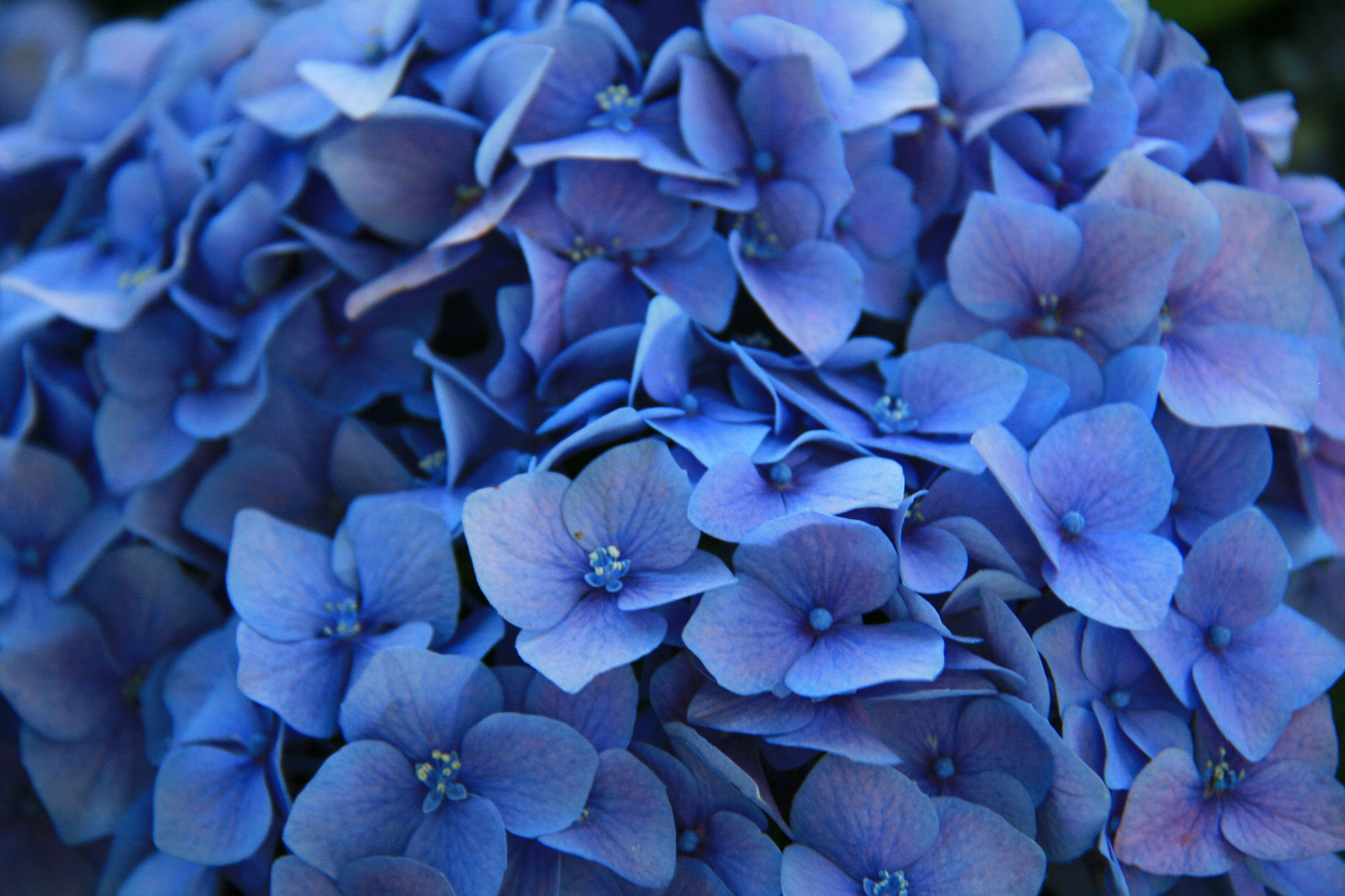 Blue Flowers Wallpapers Images Photos Pictures Backgrounds