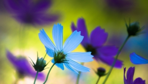 Blue Flowers For Desktop