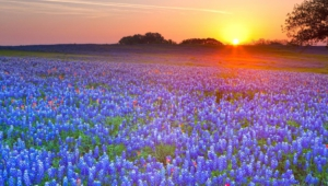Bluebonnet Background