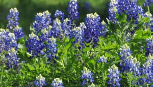 Bluebonnet Widescreen