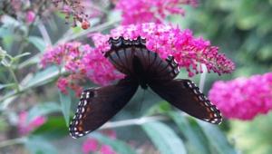 Butterfly Tree Widescreen