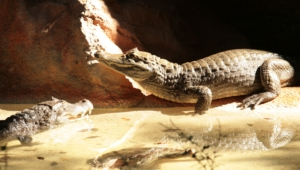 Caiman Hd Background