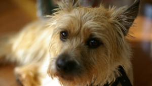Cairn Terrier Computer Wallpaper