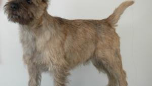 Cairn Terrier Desktop