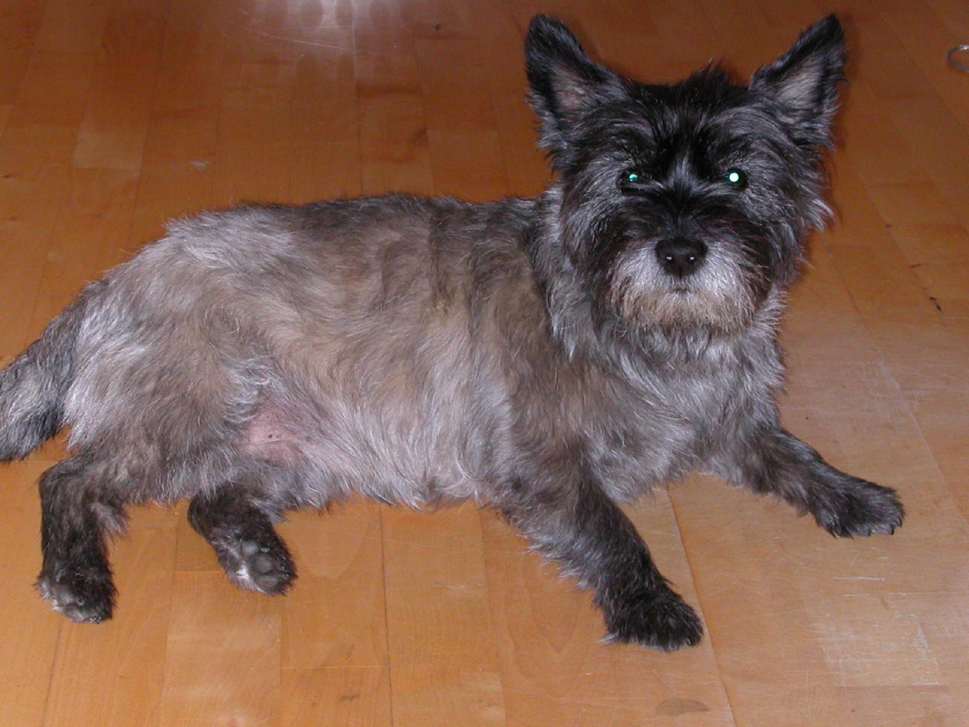 Cairn Terrier Hd