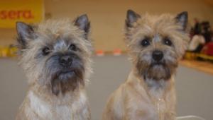 Cairn Terrier Wallpapers Hd