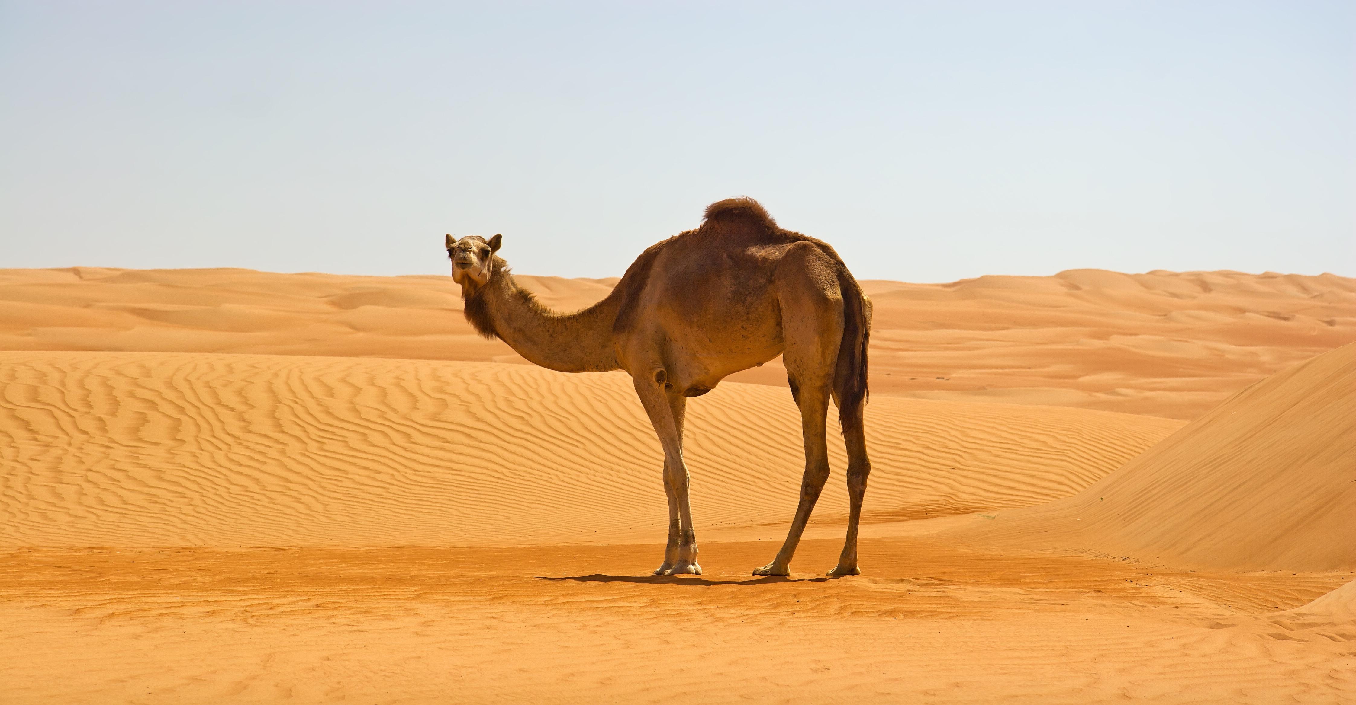 Camel Computer Wallpaper