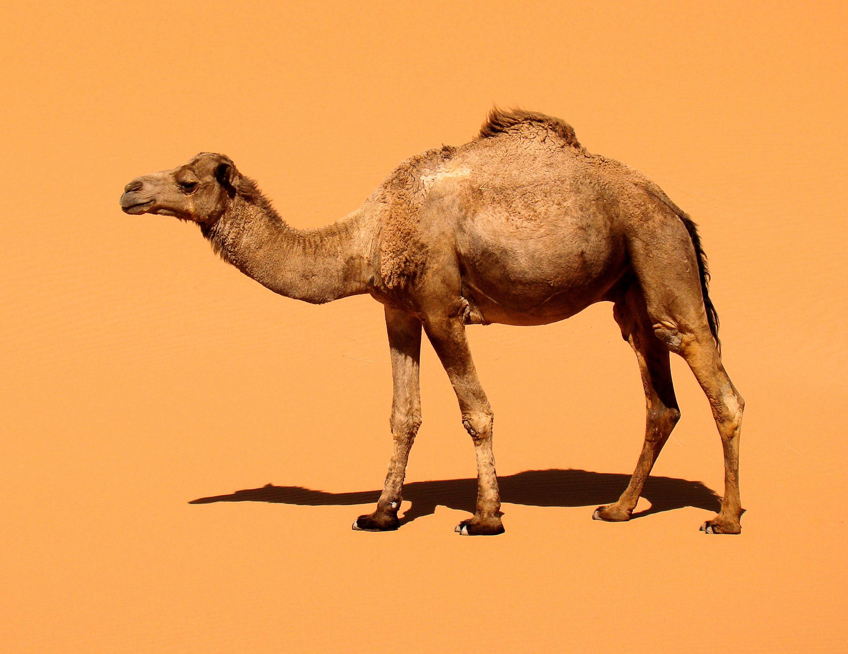 Camel Hd Wallpaper