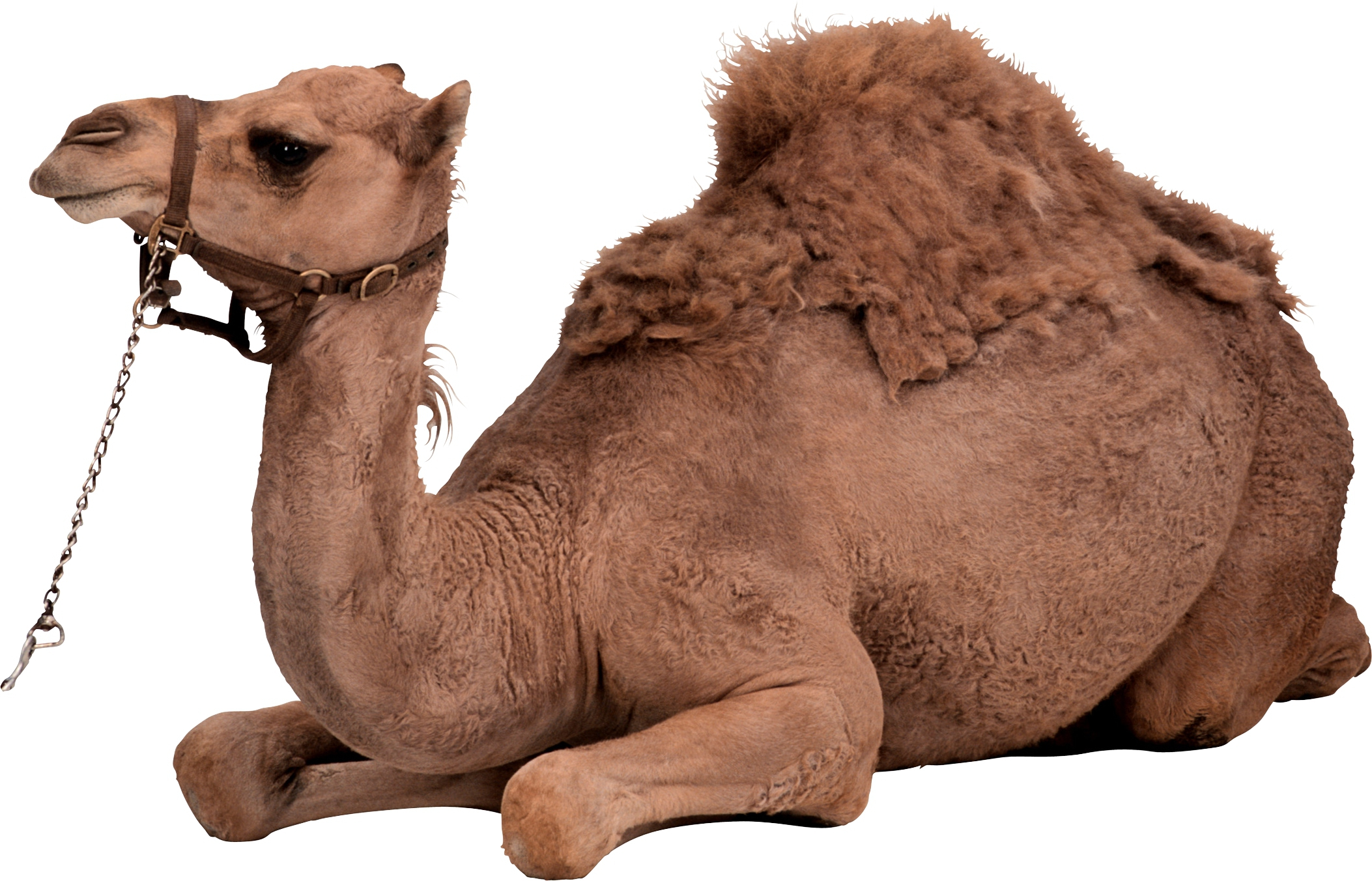 Camel High Definition Wallpapers