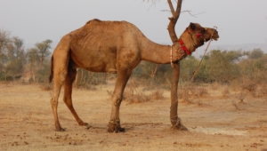 Camel High Quality Wallpapers