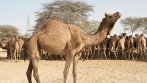 Camel Images