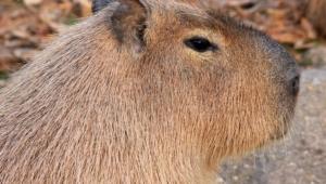 Capybara Background