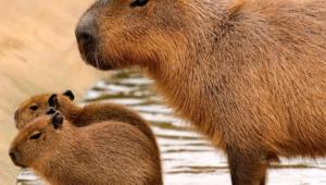 Capybara Computer Wallpaper